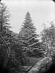celebrated tree at Plas Coed-coch, Betws-yn-Rhos]
