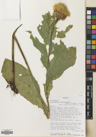 Centaurea macrocephala Puschk. ex Willd.