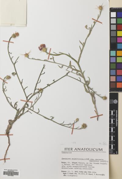 Centaurea solstitialis L.