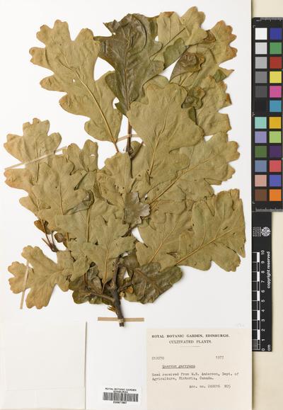 OMNIA - Quercus