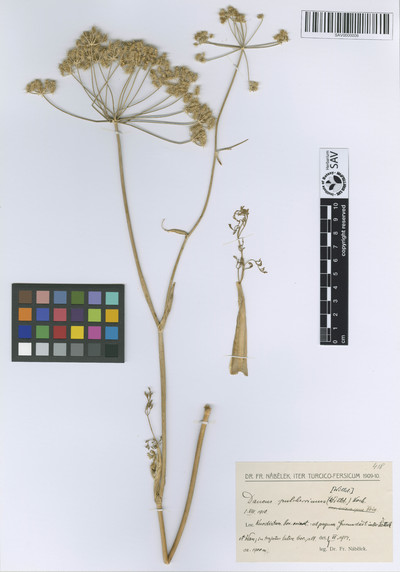 Daucus pulcherrimus (Willd.) Koch ex DC. var. eriocarpus Boiss.