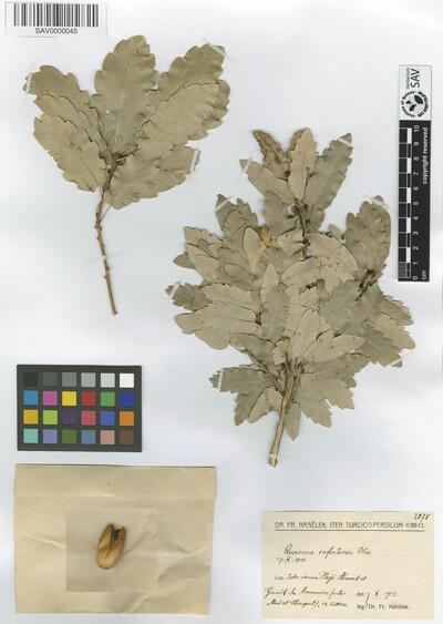 Quercus infectoria Olivier