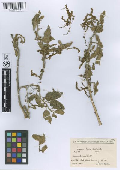Quercus persica Jaub. & Spach