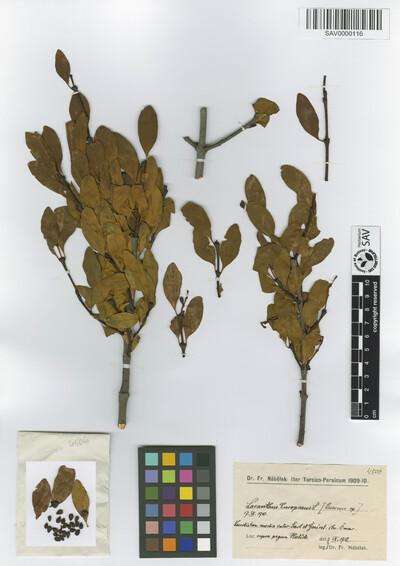 Loranthus europaeus Jacq.