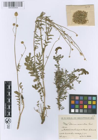 Sanguisorba minor subsp. polygama (Waldst. et Kit.) Samp.
