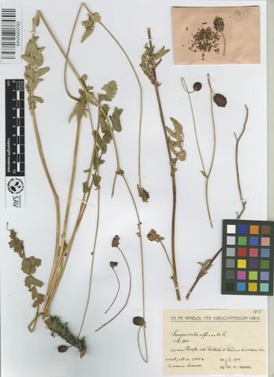Sanguisorba officinalis L.
