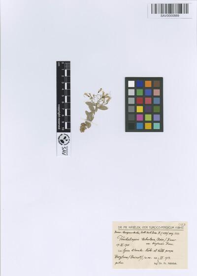 Tracheliopsis tubulosa (Boiss.) Buser var. berytensis Buser