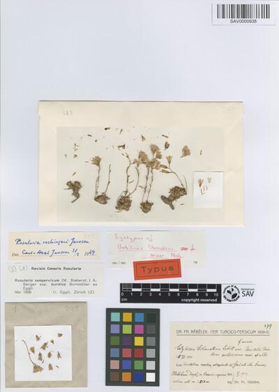 Rosularia sempervivum (M.Bieb.) A. Berger subsp. kurdica Bornm. ex Eggli