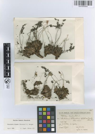 Rosularia lineata (Boiss.) A. Berger