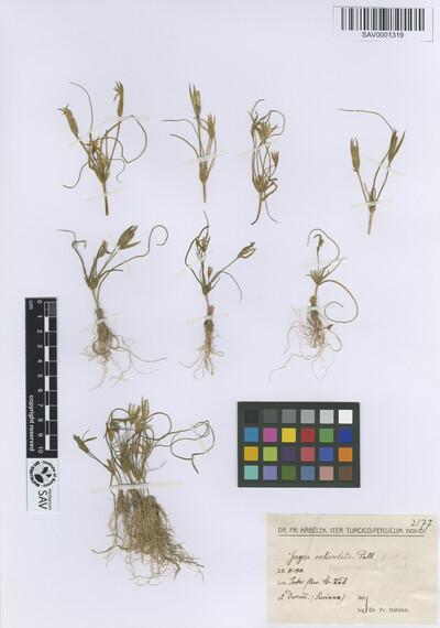 Gagea reticulata (Pall.) Schult. & Schult.f. subsp. reticulata