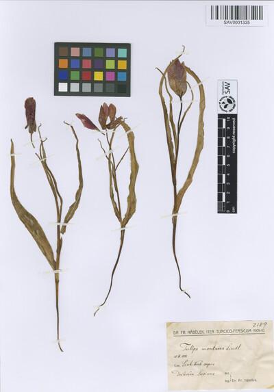 Tulipa montana Lindl.