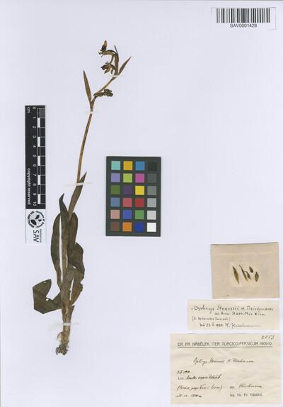 Ophrys straussii Fleischm.