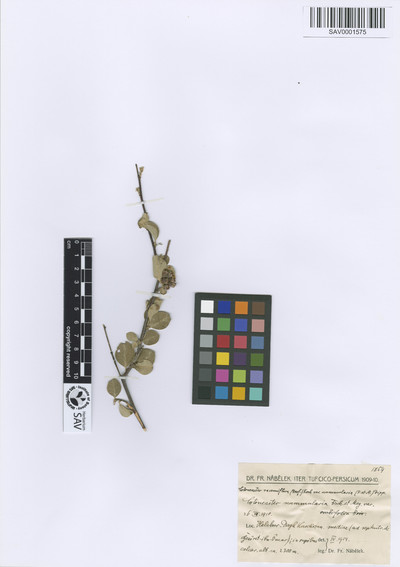 Cotoneaster racemiflorus (Desf.) K.Koch var. nummularius (Fisch. & C.A.Mey.) Dippel