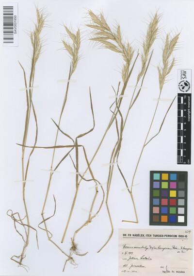 Bromus macrostachys Desf. var. lanuginosus Boiss.