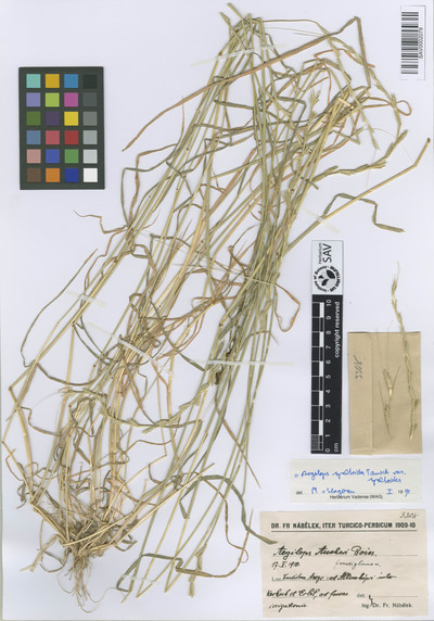 Aegilops speltoides Tausch var. speltoides