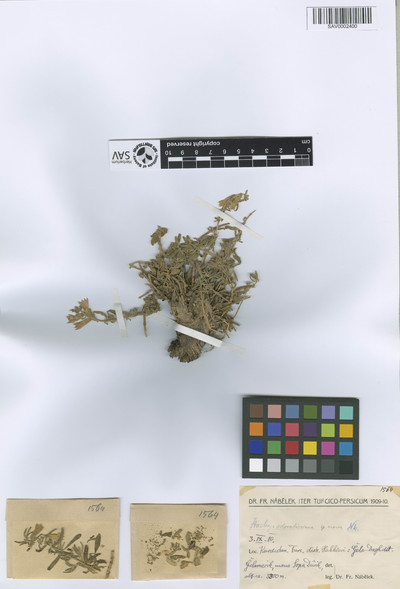 Stachys odoratissima Nábělek