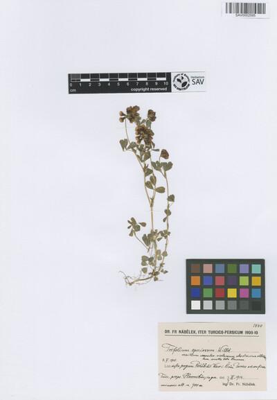 Trifolium speciosum Willd.