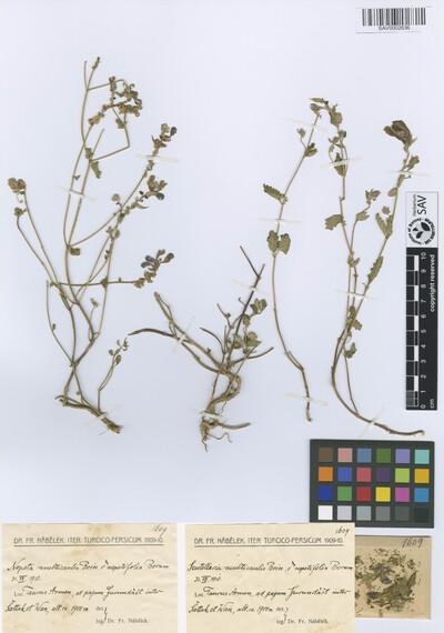 Scutellaria multicaulis Boiss. var. nepetifolia Bornm.