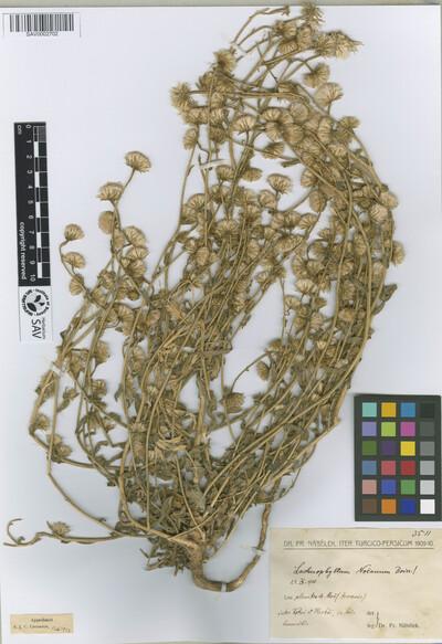 Lachnophyllum noeanum Boiss.