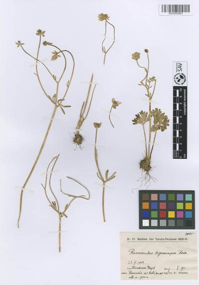Ranunculus trigonocarpus Boiss.