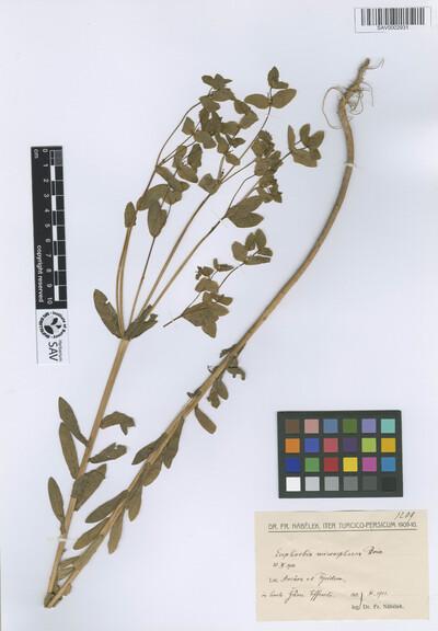 Euphorbia microsphaera Boiss.