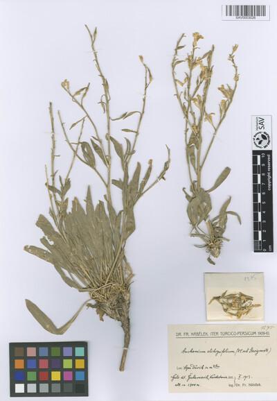 Anchonium elichrysifolium (DC.) Boiss.