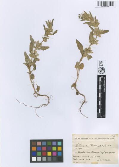 Lallemantia iberica (M. Bieb.) Fisch. & C. A. Mey.