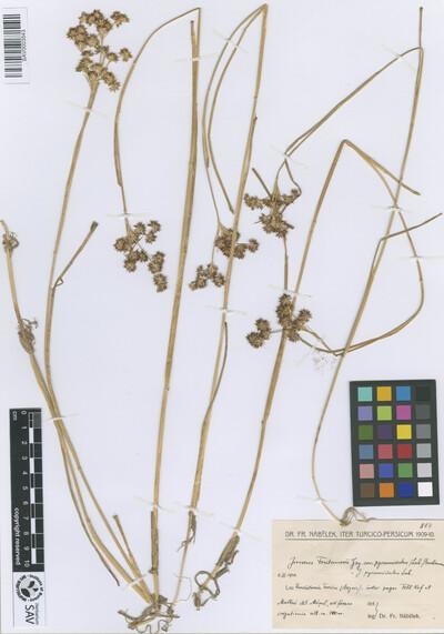 Juncus fontanesii J.Gay ex Laharpe var. pyramidatus (Laharpe) Buchenau