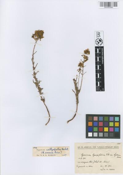 Hypericum amblysepalum Hochst.