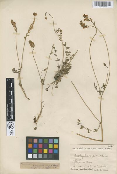 Onobrychis oxyodonta Boiss. f. kurdistanica Širj.