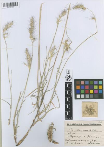 Pennisetum orientale Rich.