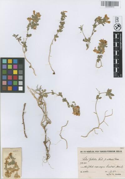Lotus gebelia Vent. var. villosum Boiss.