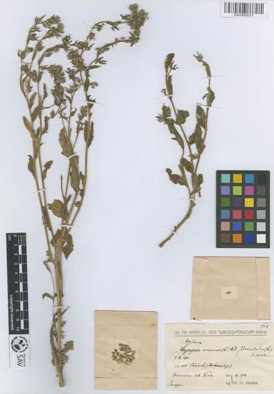 Anchusa arvensis (L.) M. Bieb. var. orientalis (L.) Kuntze