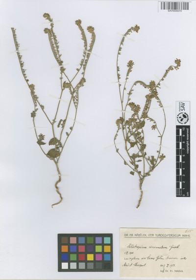Heliotropium circinatum Griseb. var. macrantha Stapf.