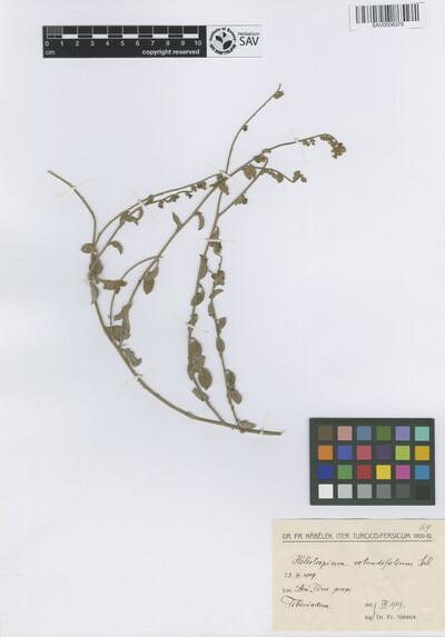 Heliotropium rotundifolium Sieber ex Lehm.
