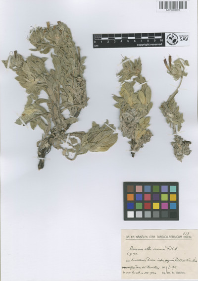Onosma alborosea Fisch. & C.A. Mey.