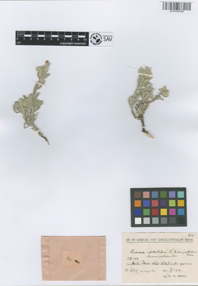 Onosma stellulata Waldst. & Kit. var. pallidum Boiss.