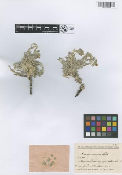 Onosma sericeum Willd.