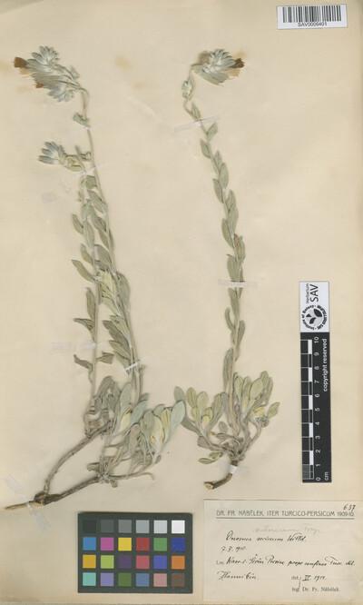 Onosma subsericea Freyn
