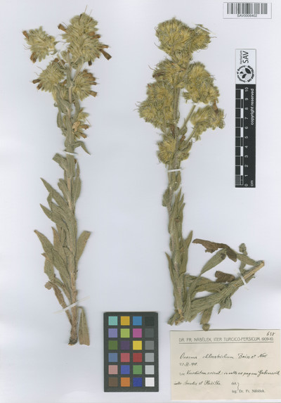 Onosma chlorotricha Boiss. & Noë