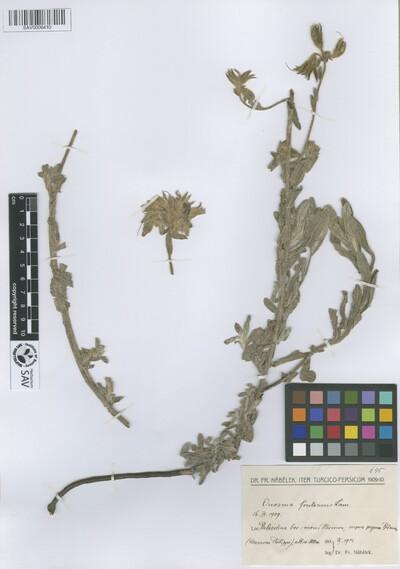 Onosma frutescens Lam.
