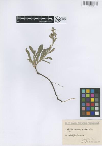 Moltkia coerulea (Willd.) Lehm.