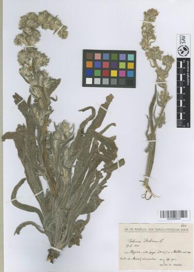 Echium italicum L.
