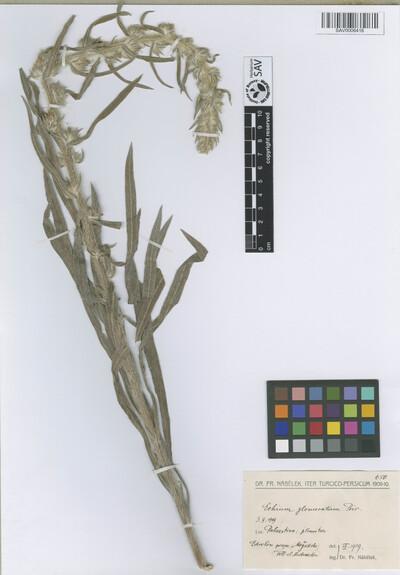 Echium glomeratum Poir.