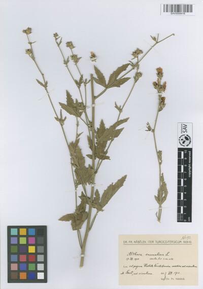 Althaea cannabina L.