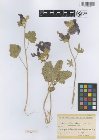 Althaea kurdica Schltdl. forma glaucescens Nábělek