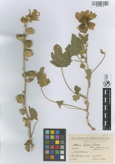 Althaea hohenackeri Boiss. & A. Huet