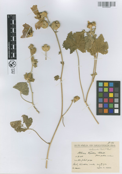 Althaea hohenackeri Boiss. & A. Huet