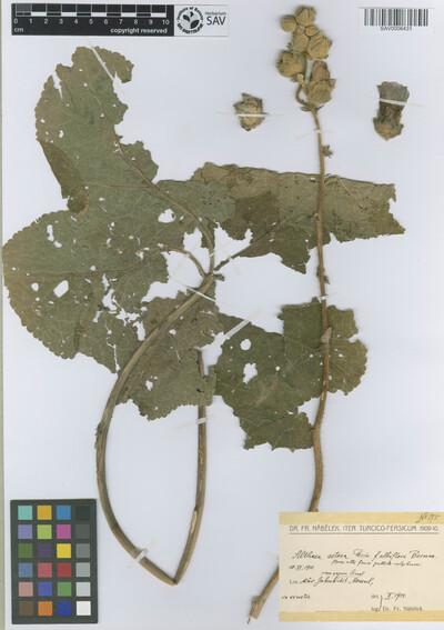 Althaea setosa Boiss. forma albiflora Bornm.
