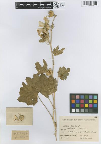 Althaea ficifolia (L.) Cav.